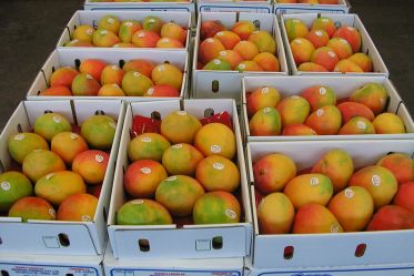 Mango Exports Underway